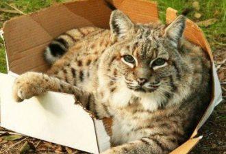 Большие коты тоже любят коробки: подборка очаровательных фото